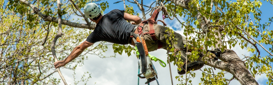 Professional tree trimmer wearing a safty helmet, climbing a cottonwood tree, with ropes and a safety harness and chainsaw trimming a branch with a hand saw. Tree trimmer high in the air, holding on to a branch while trimming a tree.